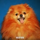 Вязка померанский шпиц 4 жениха собака, Архангельск