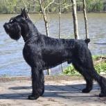 Ризеншнауцер щенки чёрного окраса, Архангельск