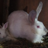 Кролики мясной породы, Архангельск