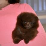 Шпиц экзотика-коричневый мальчик, Архангельск