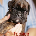 Очаровательные щенки немецкого боксера, Архангельск