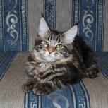 Котята мейн кун, Архангельск