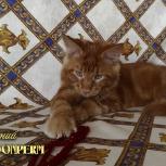 Котенок мейн - кун, Архангельск