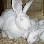 Продам кроликов мясной породы, Архангельск