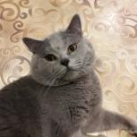Вязка с котиком породы скоттиш-страйт, Архангельск