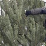 Новогодние елки, сосны, пихты, Архангельск