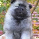 Породные щенки вольфшпица (кеесхонда), Архангельск