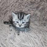 Шотландские котята, Архангельск
