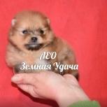 Продаётся красивый мальчик шпиц, Архангельск