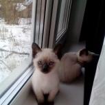 Тайские котята, Архангельск