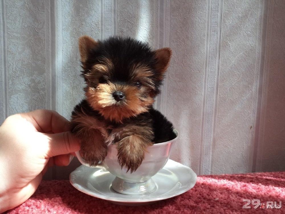 Подать бесплатно объявление о купле щенка в арханегльске на рамблер объявление продам квартиру