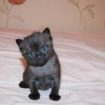 Продам шотландских котят, Архангельск
