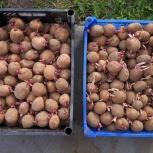 Продам семенной Заостровский картофель, Архангельск