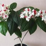 Комнатное растение клеродендрум, Архангельск