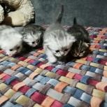 Продам милых Шотландских котят, Архангельск