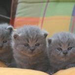Голубые короткошерстные и длинношерстные британские котята., Архангельск