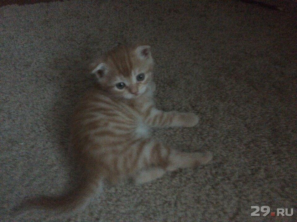 Подать объявление о продаже котят в архангельске вакансии ногинск охрана свежие