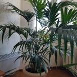 Продам пальму (ховея), Архангельск