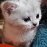 Продаются британские котята, Архангельск