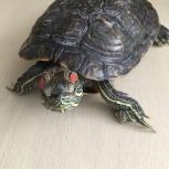 Красноухая черепаха, Архангельск
