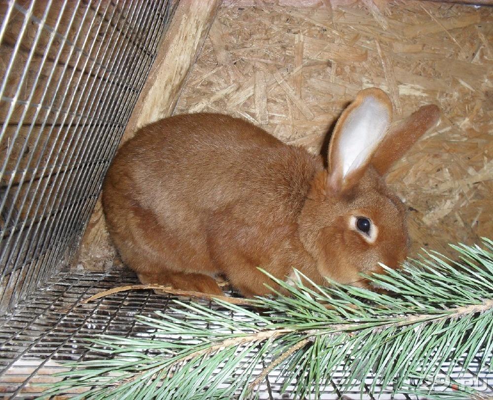 нзк кролик фото в кемеровской области это лишь